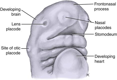 fetal face and neck